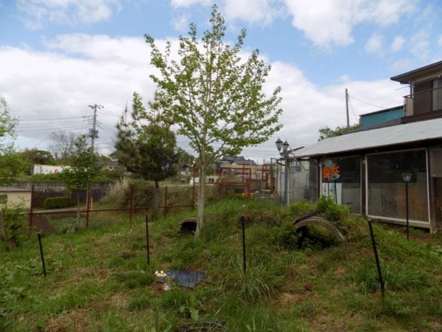 「堂々と根を張り我が家のシンボルツリーに・・・同じ銀杏も育つ場所が違えば」