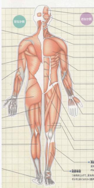 筋肉について