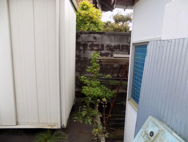 何処で育っても、銀杏は銀杏 「我が家の片隅コンクリート擁壁の隙間に健気に育った銀杏」